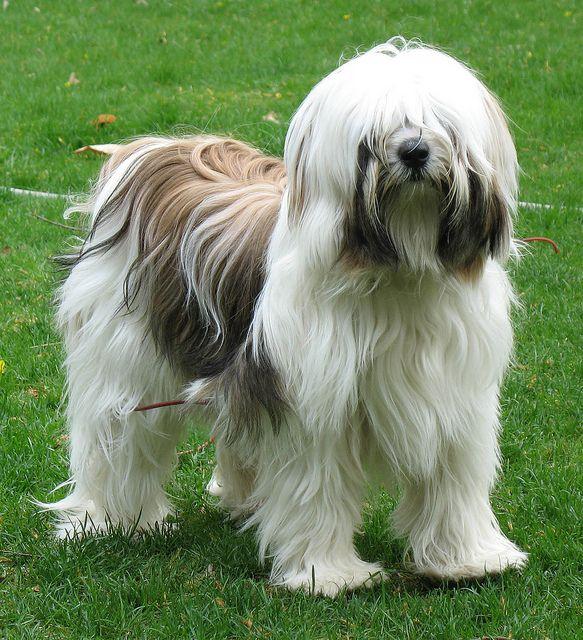 Lucy Bumps Into Things Tibetan terrier, Animal spirit