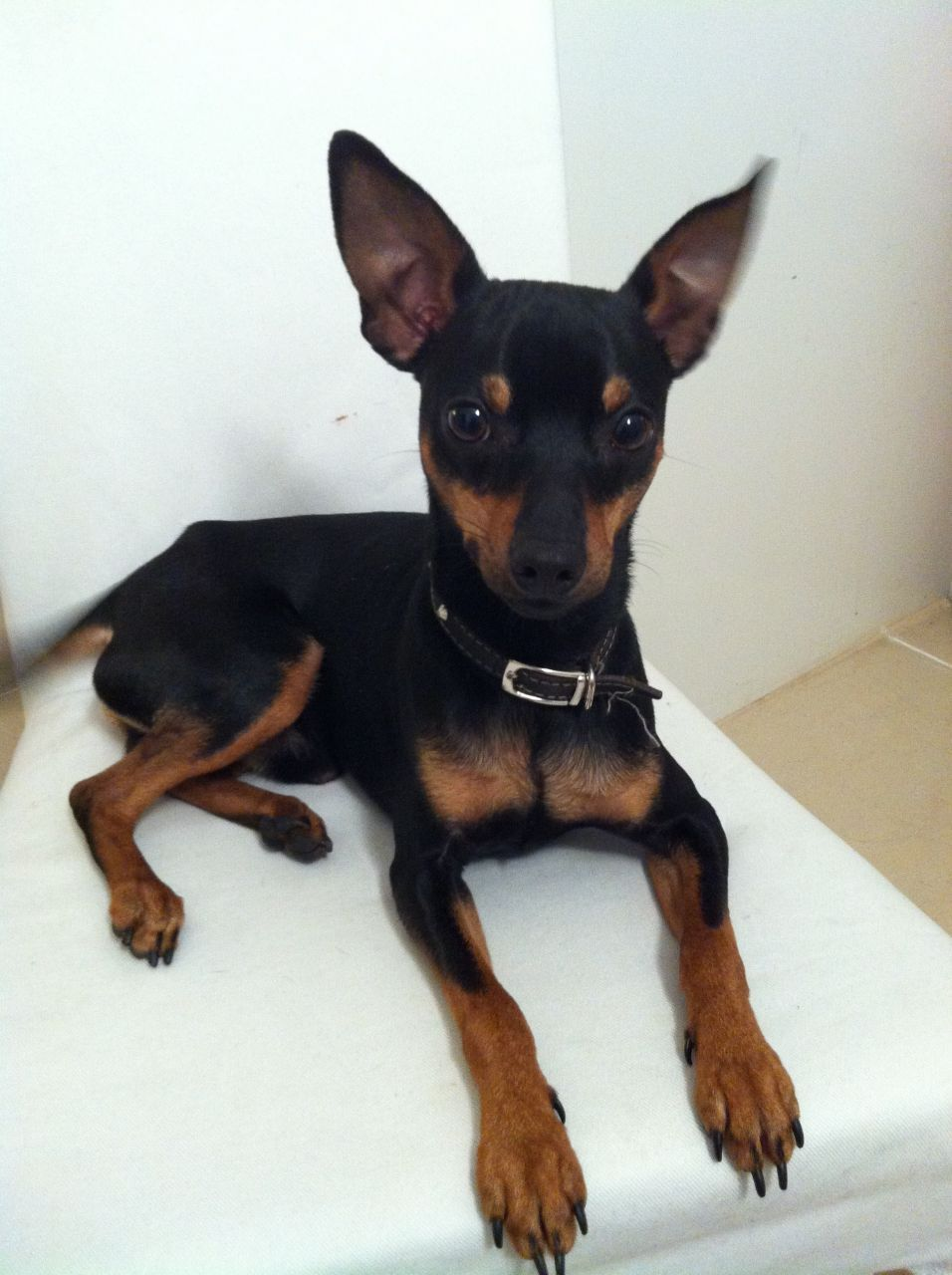 Miniature pinschers are an active breed and will need
