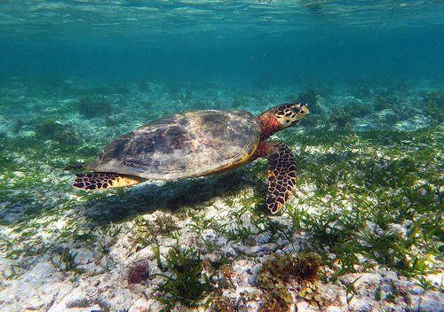 Hawksbill turtle (Eretmochelys imbricata), Anse Source d'Argent, La Digue