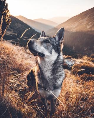 صور خلفيات ذئب المغامر Beautiful Dogs Animals Wild Wolf Dog