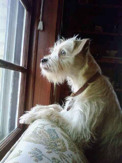 This Is My Dog Kodi He S A Border Terrier Schnauzer Mix