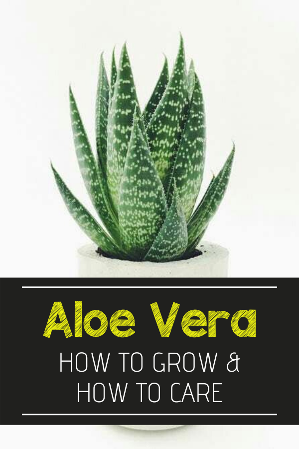 How To Grow And Care For Aloe Vera Plant Myths How To Grow Aloe Vera Plants Do Aloe Plants Need A Lot Of Su In 2020 Aloe Plant Aloe