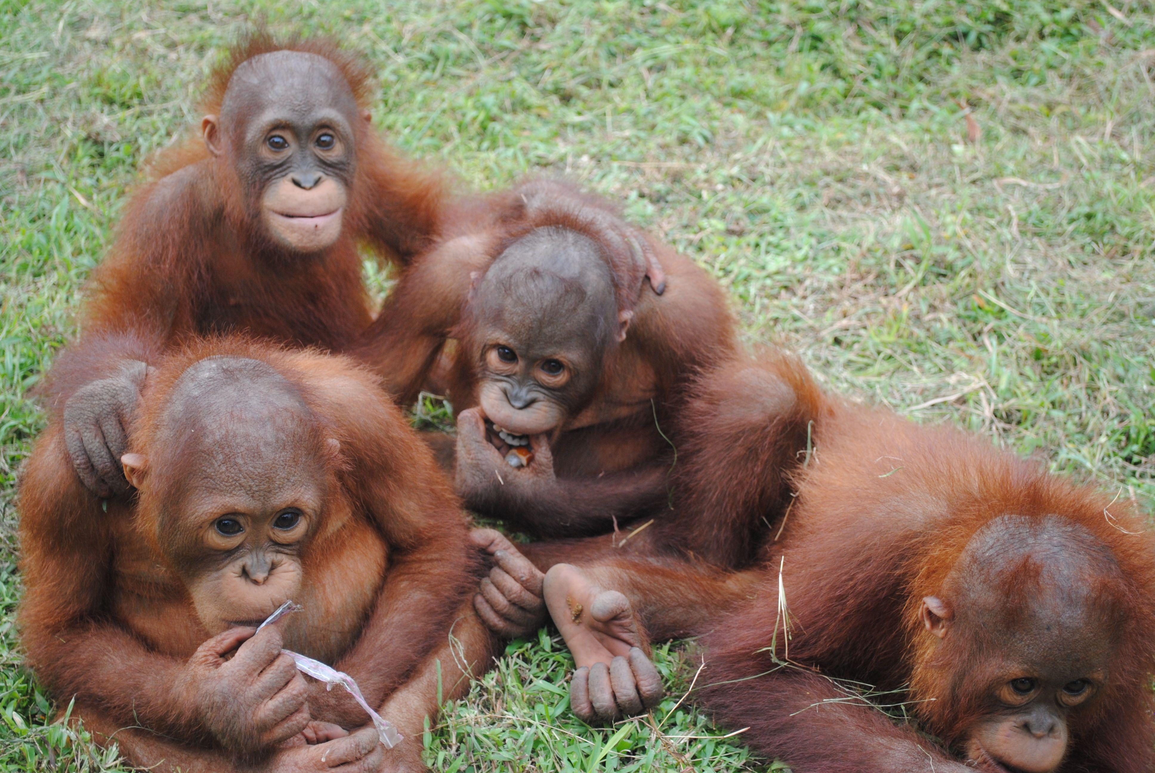 orangutans at international animal rescue Orangutan