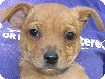 Red Chiwawa Mix Chihuahua Pekingese Mix Puppy For Sale In