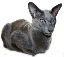 Sherlock Oriental Shorthair Oriental Shorthair Cats Oriental Shorthair Cutest Cats Ever