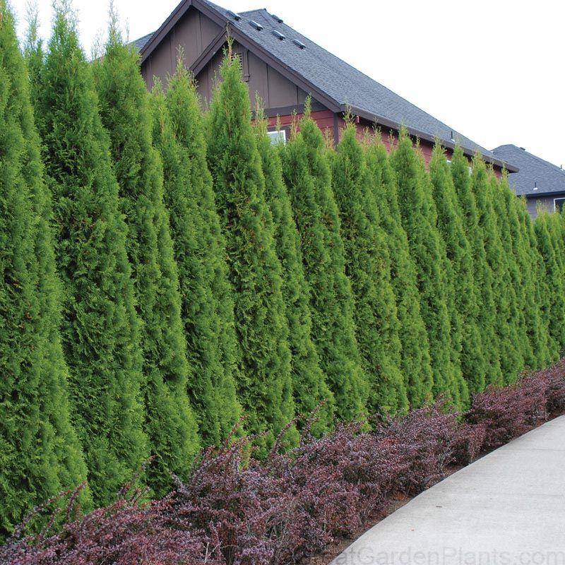 Hefty - 1 gal pots . Looking for the perfect 8' tall evergreen privacy Hedge Plant ? Look no further than Emerald Thuja. This compact grower quickly forms a dense 8' tall evergreen screen! This rapidly growing evergreen shrub can grow over 18 per year if given copius amounts of water and fertilizer throughout the growing season. Thuja Emerald is also extremely adaptable to a wide range of growing conditions and will thrive in both sandy and heavy clay garden soils! Emera...