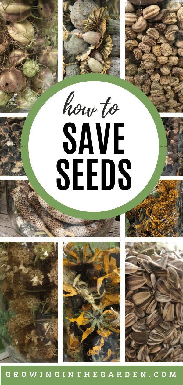 How to Save Seeds Vegetable garden, Garden seeds