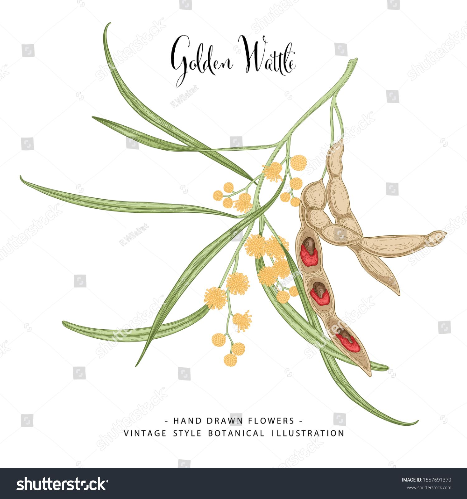 Vintage Botanical Illustration Golden Wattle Acacia Pycnantha Flower And Seed Pods Drawings Australia In 2020 Vintage Botanical Seed Illustration Hand Drawn Flowers