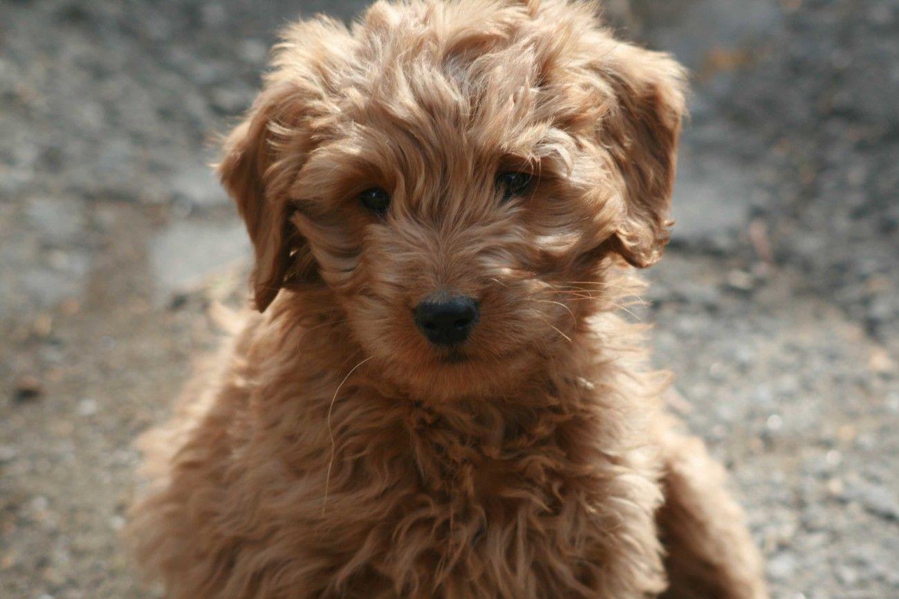 Goldendoodle Desktop Wallpaper Dog Breeds Cute Animals Puppies Goldendoodle