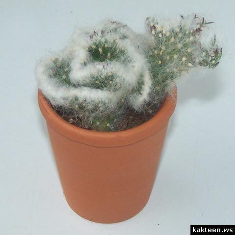 opuntia vestita cristata opuntia austrocilindropuntia pinterest kaktus und pflanzen. Black Bedroom Furniture Sets. Home Design Ideas