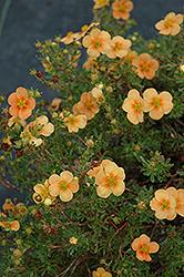 Click to view a fullsize photo of Orange Whisper