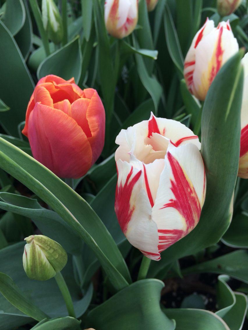 My Beautiful Tulips Tulips Tulips Tulips Pinterest
