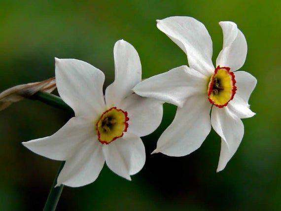 Poeticus Heirloom Daffodil Bulbs Deer Resistant Perennial Plants VERY FRAGRANT Sp Narcissus Poeticus Heirloom Daffodil Bulbs Deer Resistant Perennial Plants VERY FRAGRANT...