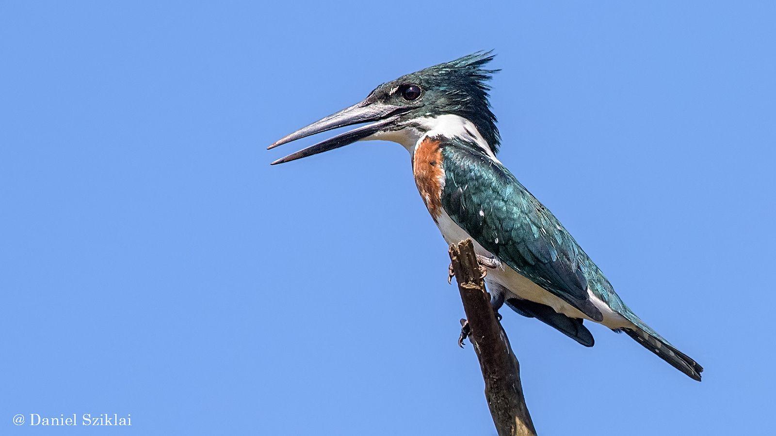Martín Pescador Mediano. Chloroceryle amazona. Amazon Kingfisher   by Daniel Sziklai G.