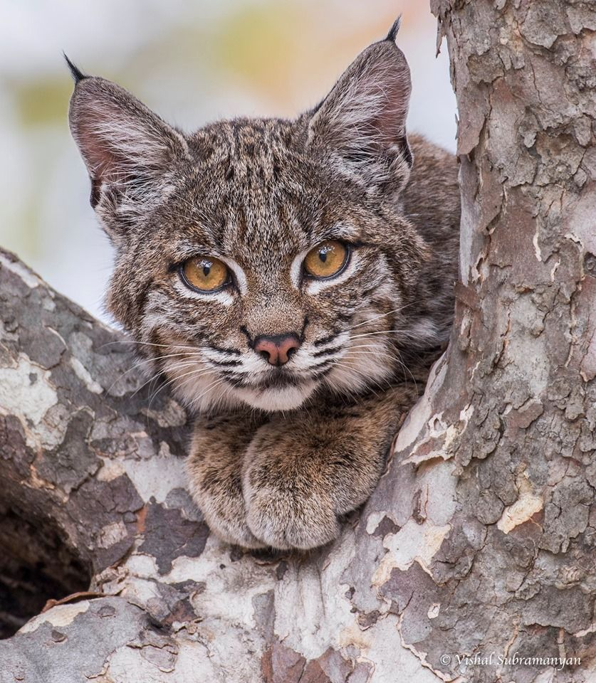 BOBCAT Photographer Vishal Subramanyan Wildlife