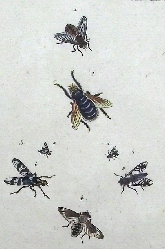 1787 fly flies insect original antique hand coloured