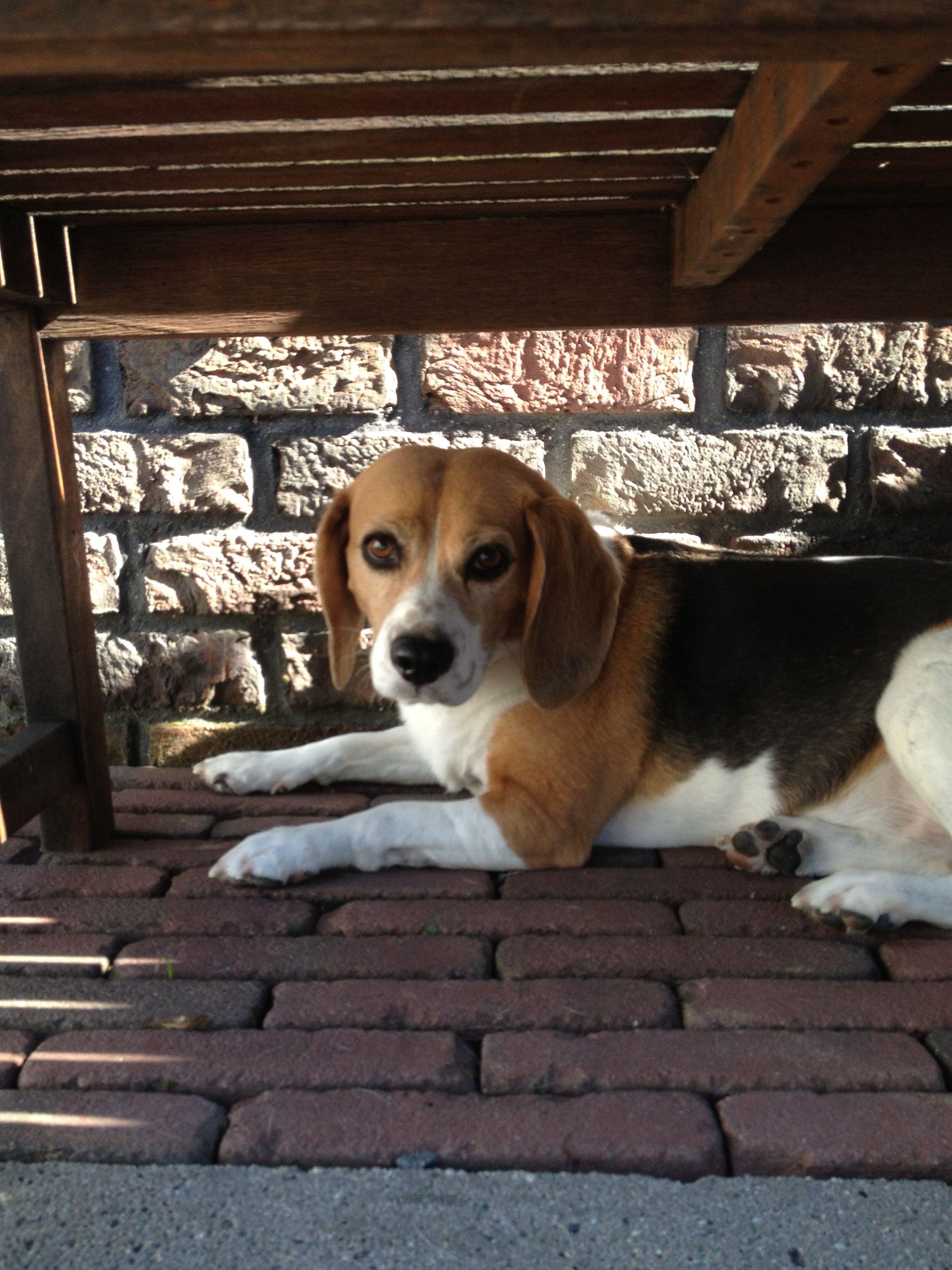 beagle pups nederland