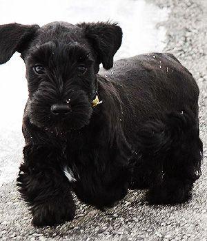 Cesky Terrier Price Temperament Life Span Terrier Breeds Black Dogs Breeds Dog Breeds