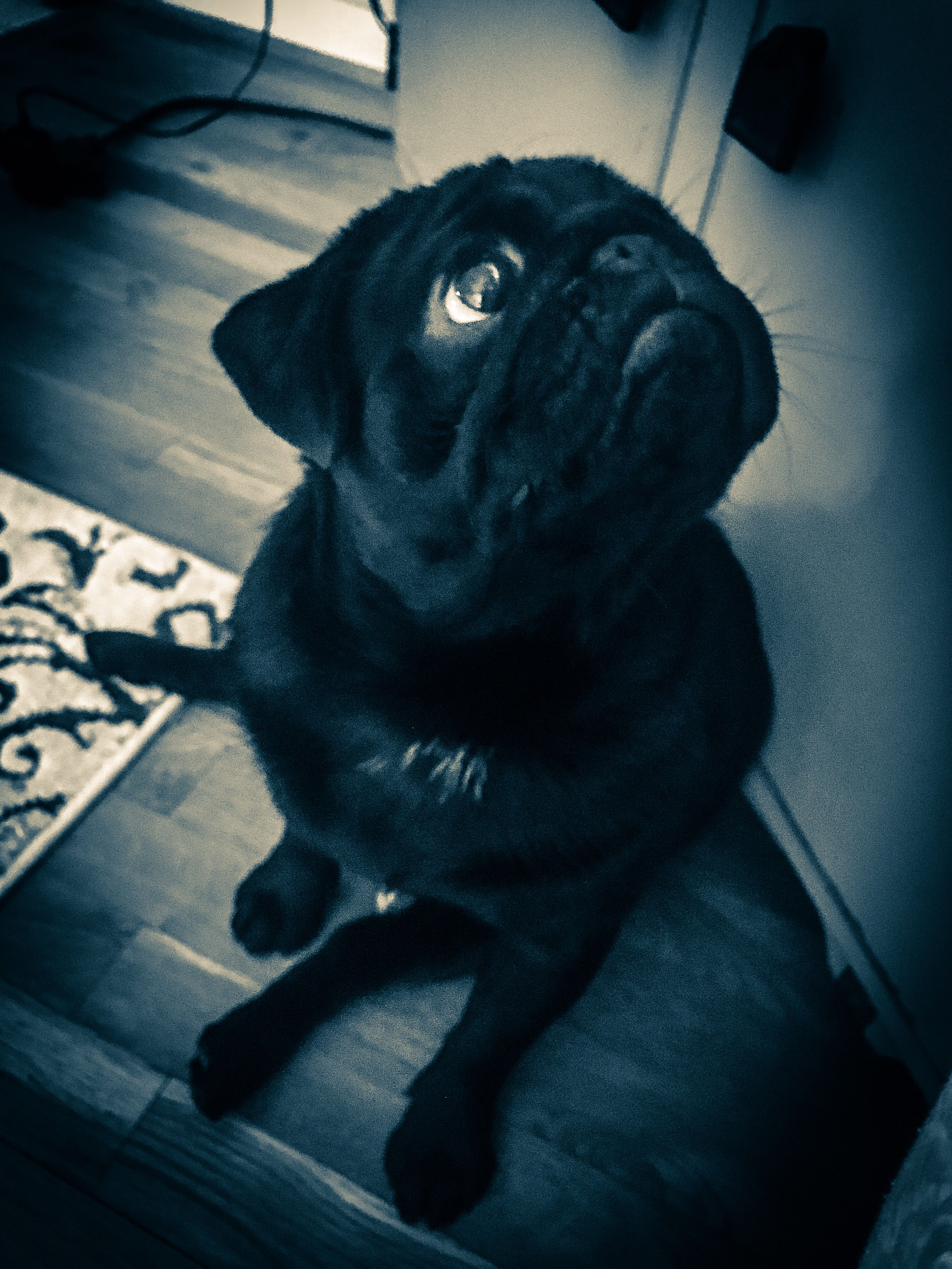 Pin By Janelle Macintosh On Pug Galore With Images Pugs Black