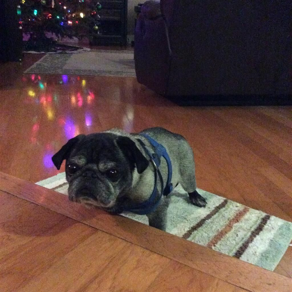 Helping Lost Pets Dog Pug Back Home Losing A Pet Dogs Pugs