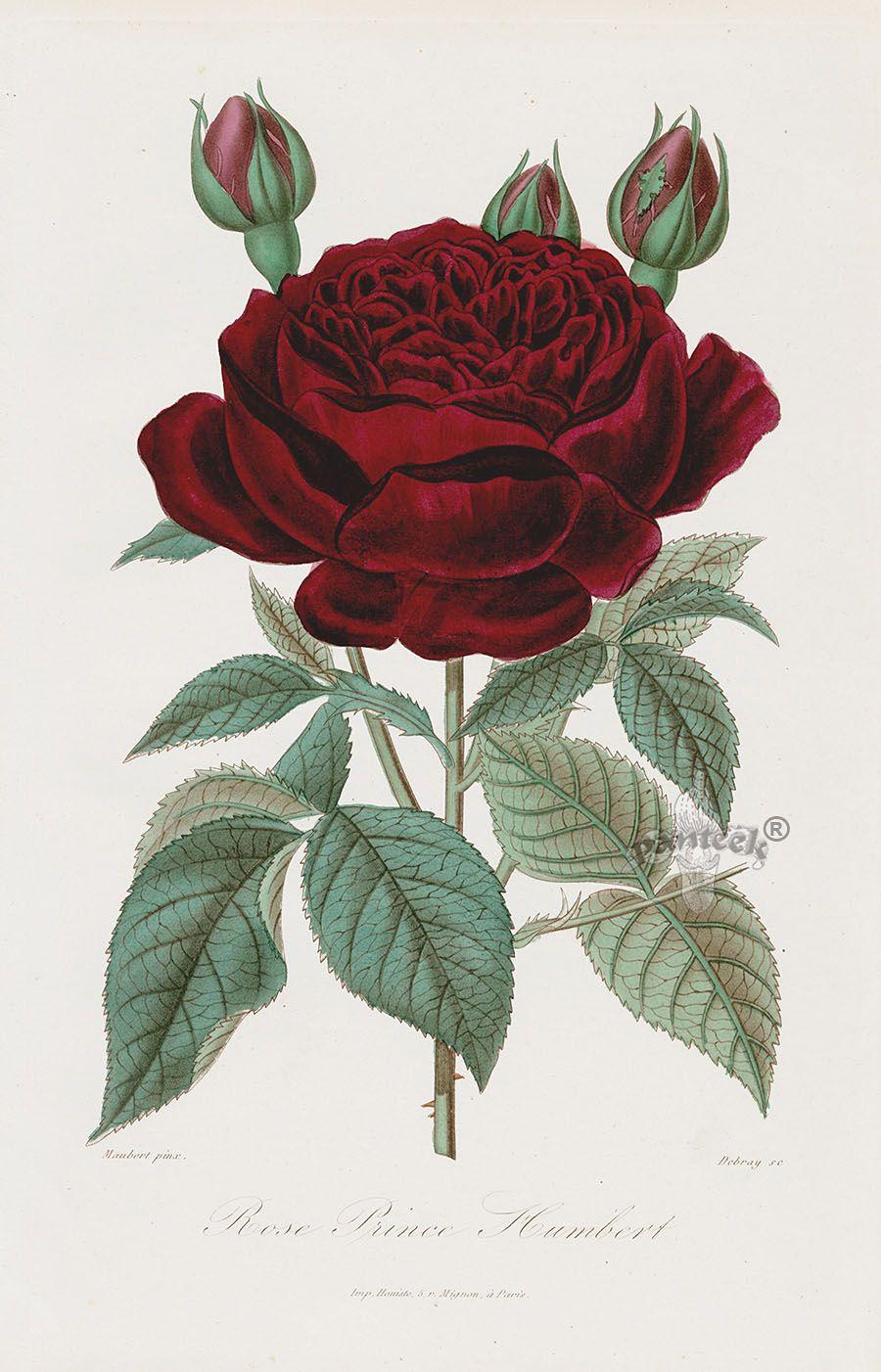 Prince Humbert Rose 1884 Roses Rosiers