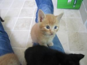 Darling Orange Tabby Kittens Is An Adoptable Domestic Short Hair Orange Cat In Castaic Ca Beautiful Orange Kittens Mal Orange Kittens Tabby Kitten Tabby Cat
