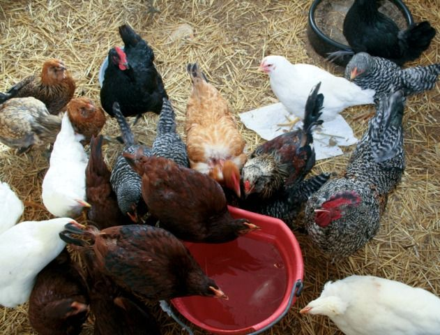 les poules ont besoin de boire pourquoi quelle quantit d 39 eau quel abreuvoir choisir. Black Bedroom Furniture Sets. Home Design Ideas