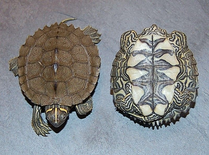 mississippi map turtle male or female Mississippi Map Turtles For Sale From The Turtle Source Map mississippi map turtle male or female