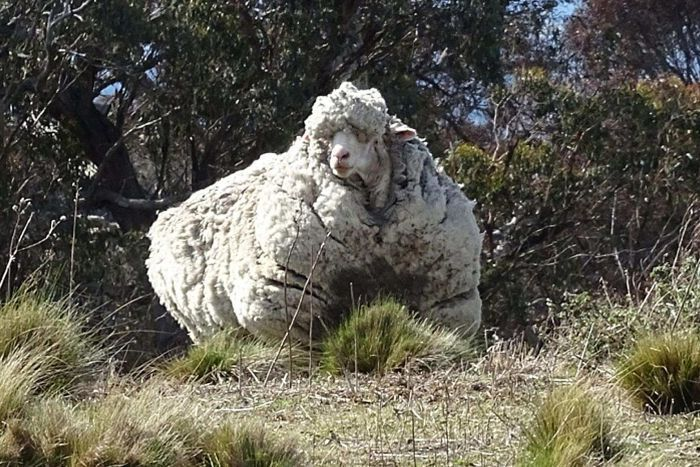 Seriously woolly sheep found near Canberra. (Photo: Supplied/Tammy Ven Dange.)