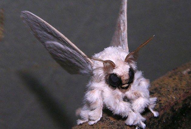 Venezuelan Poodle Moth. C'mon - don't you just want to kiss it??