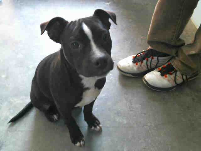 American Boston Bull Terrier Dog For Adoption In Tulsa Ok Adn