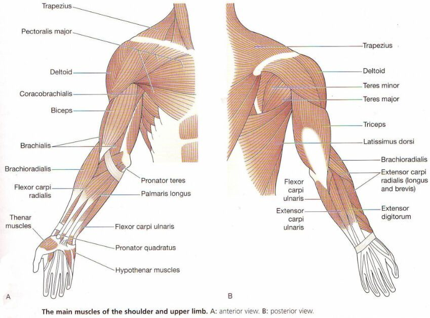 Upper Arm And Shoulder Muscle Anatomy Anterior And Posterior View
