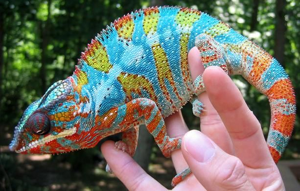 Chameleons vary greatly in size and body structure, with maximum total  lengths varying from 15 mm (0.59 in) in ma… | Chameleon lizard, Rainforest  animals, Pet birds