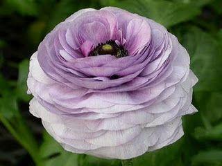 Light Purple Ranunculus Flowers Beautiful Flowers Pretty Flowers
