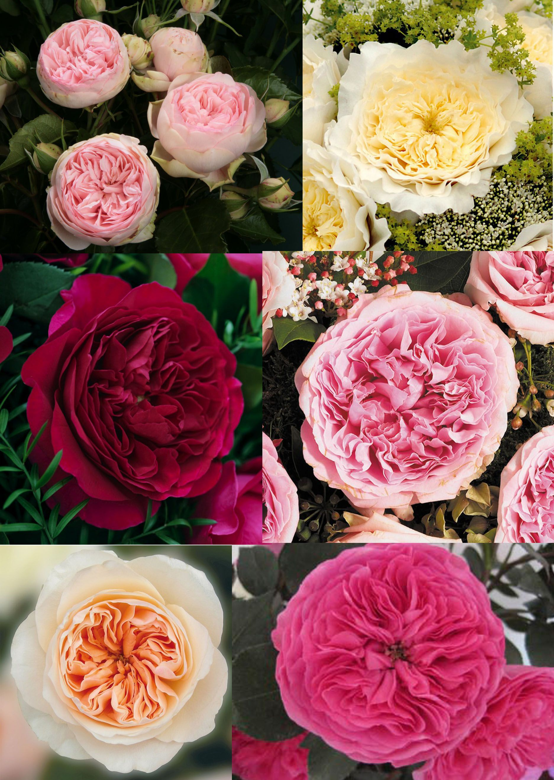 Baronesse garden rose google search cabbage rose pinterest gardens search and roses - Rose cultivars garden ...