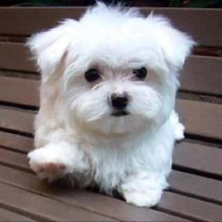 Marshmallow Best Small Dogs Best Small Dog Breeds Maltese Puppy