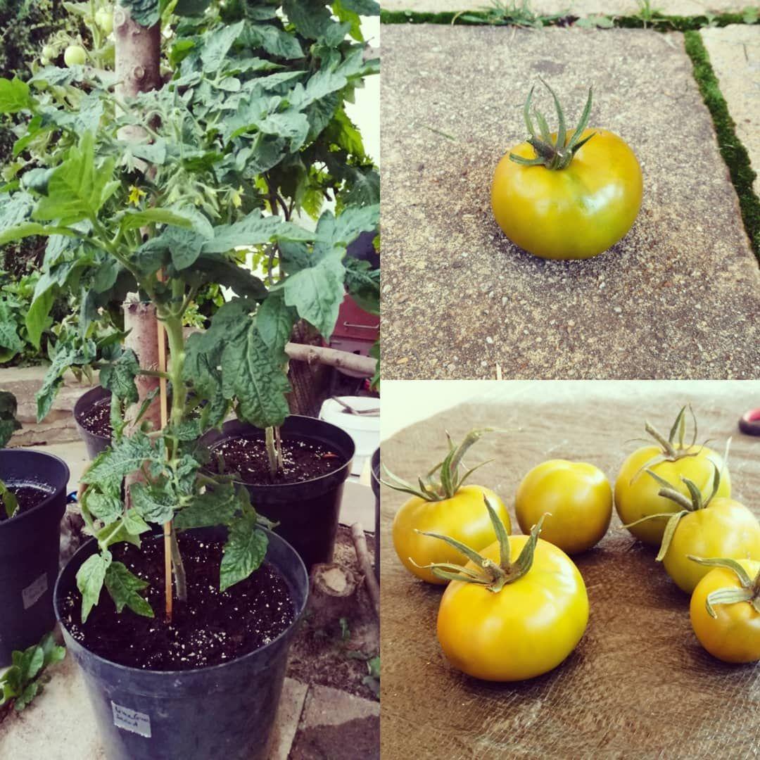 Lime Green Salad Grune Tomaten Ernten Meeeega Tomaten Tomate Tomato Tomatoes Ernte2019 Erntezeit Gemusegarten H Grune Tomaten Gartenliebe Garten