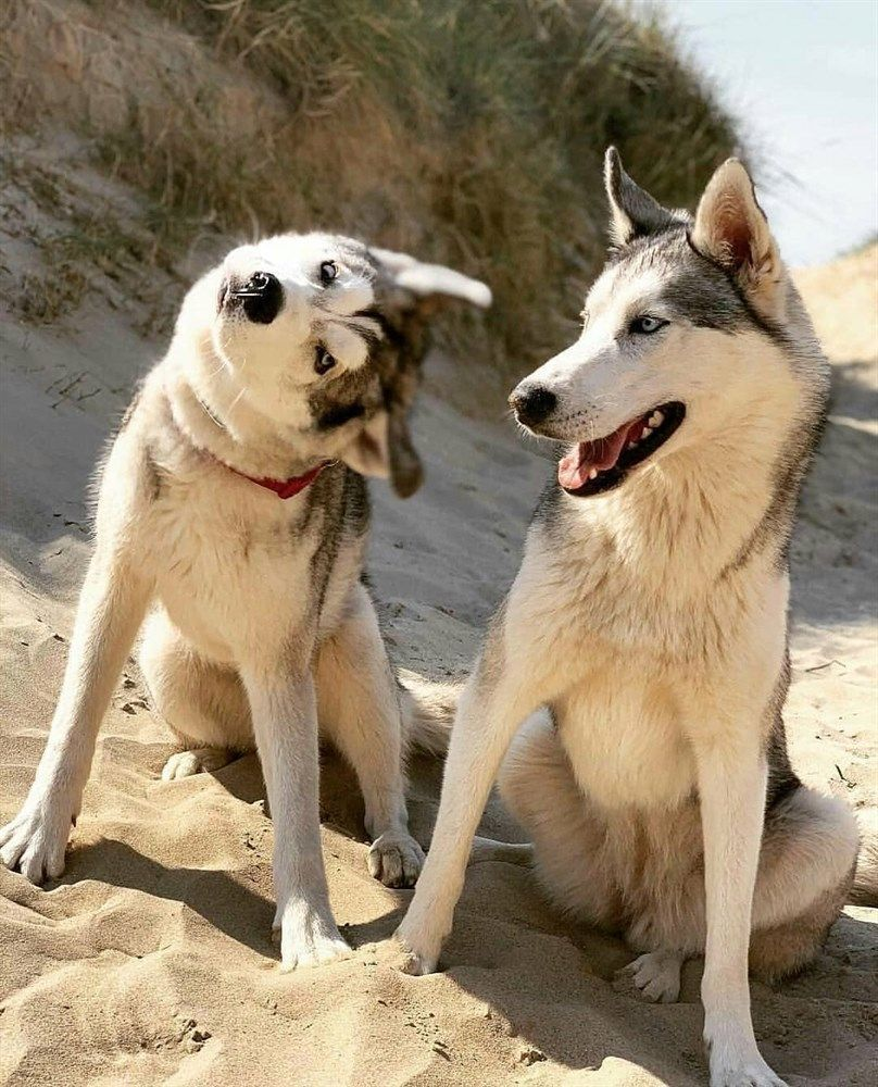 Alle Hundefutter Sind Nicht Gleich Mini Huskies Lustig Husky Siberian Huskies Husky Zuchtet Niedliche Hunde Husky In 2020 Dog Lovers Cute Baby Animals Dog Lovers Funny