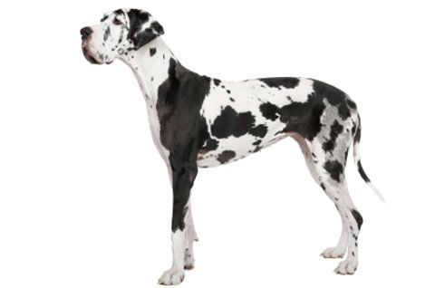Walk This Way Petplan Pet Insurance Looks At Wobbler Disease In