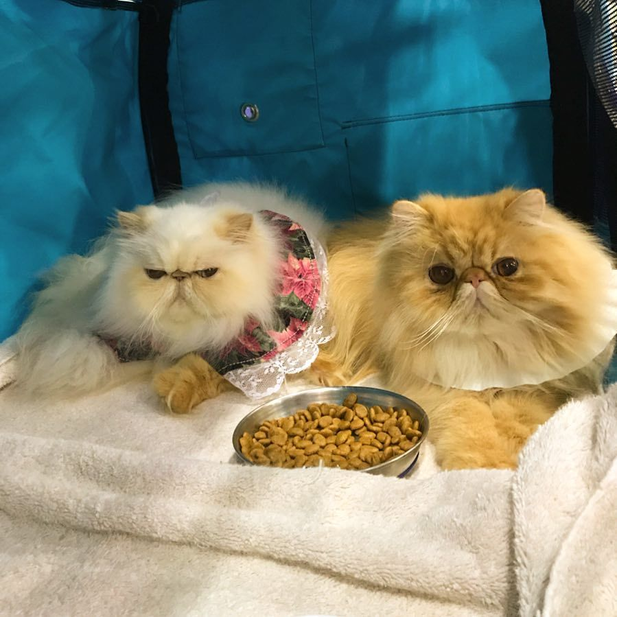 Bliss And Zaphod Had A Great Weekend At Cats And Kittens Most Popular Cat Breeds Persian Cat