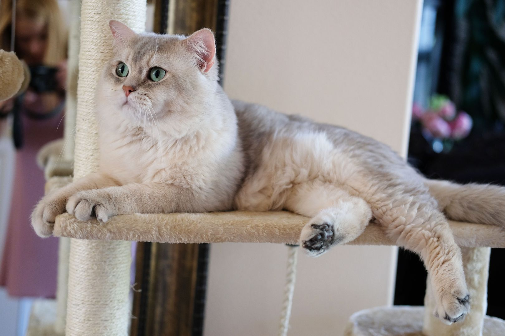 British Shorthair And Longhair Cats