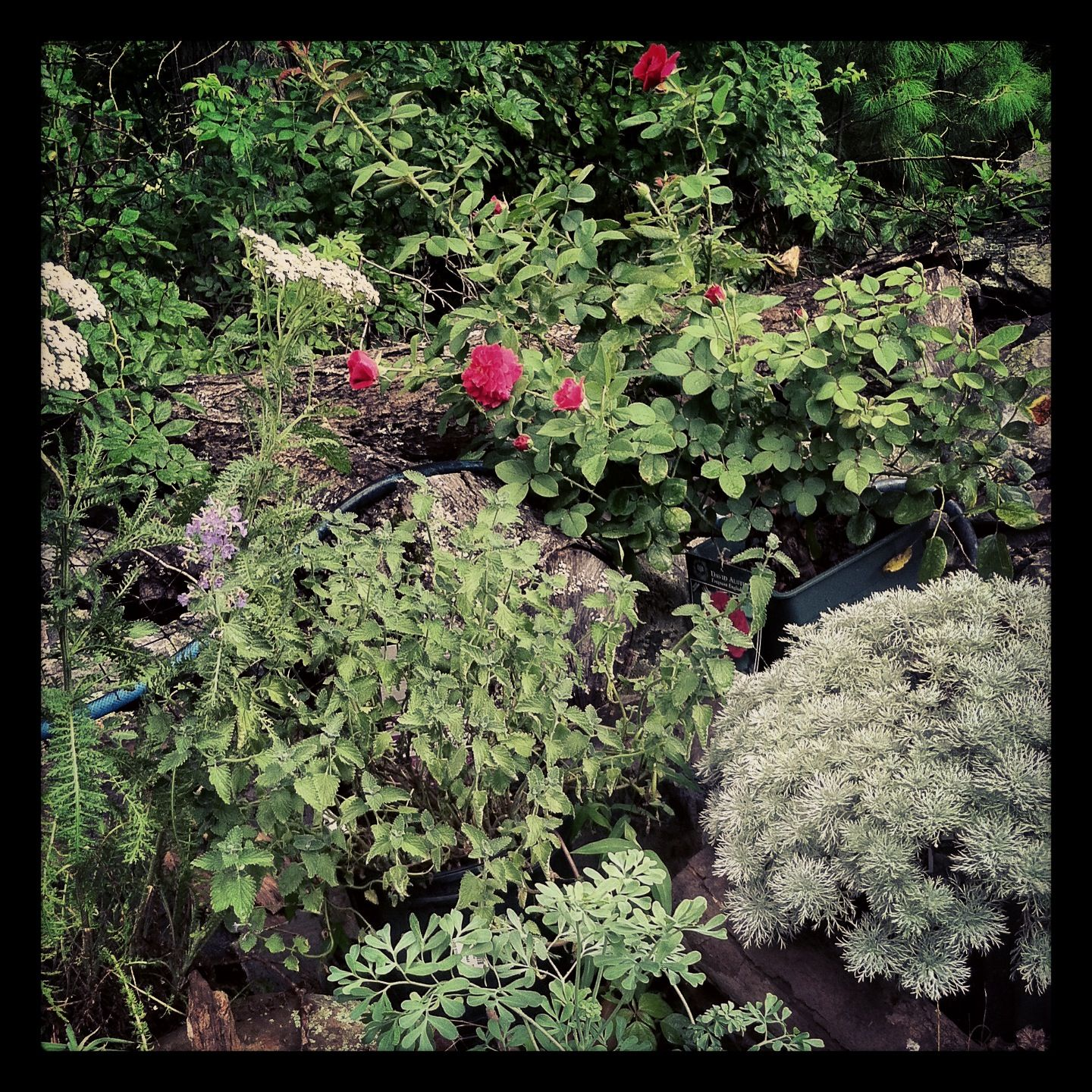 in my garden:  Silver mound artemisia, 'Tess' David Austen rose, yarrow, rue, catmint