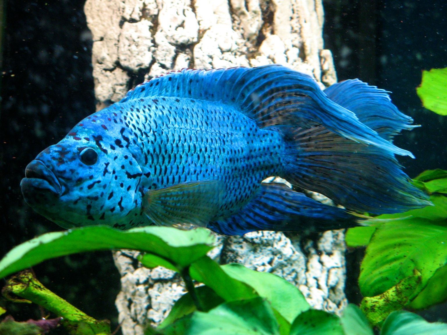 Male Electric Blue Jack Dempsey Cichlids Tropical Freshwater Fish Colorful Fish