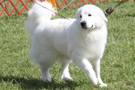 Great Pryness Dog Photo Pyrenees Breed Information Great