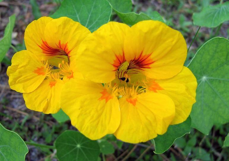 Blumen Auf Dem Teller Nasturtium Best Plants For Shade Plants