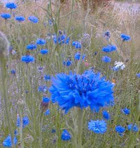 Paghat S Garden Centaurea Cyanus Bachelor Buttons Wildflower Garden Most Beautiful Flowers