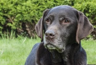 7 Signs Of Cushing S Disease In Dogs Canine Cancer Cushings