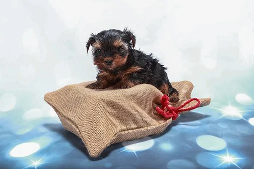 Georgia Teacup Dogs In 2020 Teacup Yorkie Puppy Yorkie Puppy For Sale Miniature Puppies