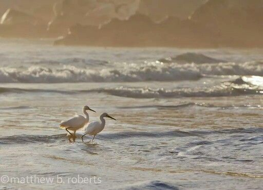 Nothing to do with @Outlander_Starz just a random #potd of egrets in the surf #California #MontereyBay http://t.co/yoqSPIM92n
