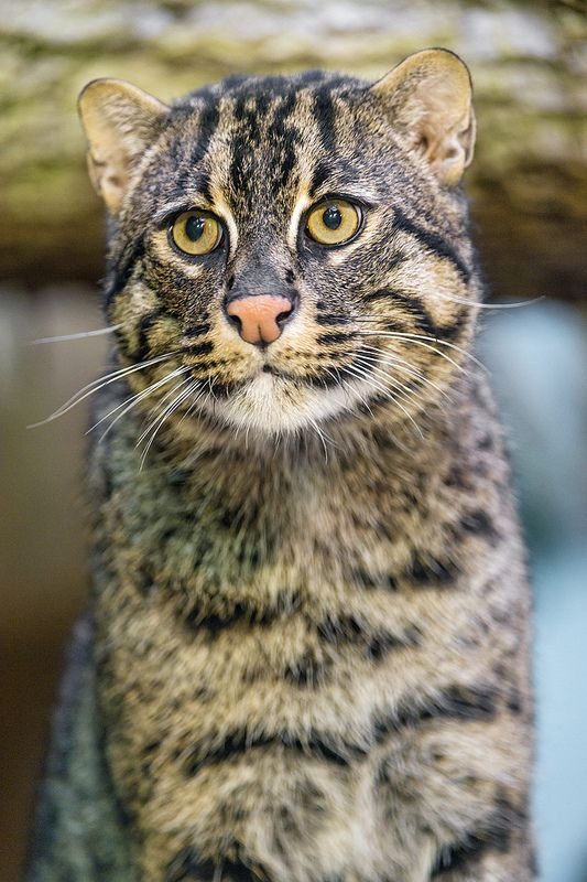 Friendly And Cute Male Fishing Cat Cats Small Wild Cats Snowshoe Cat